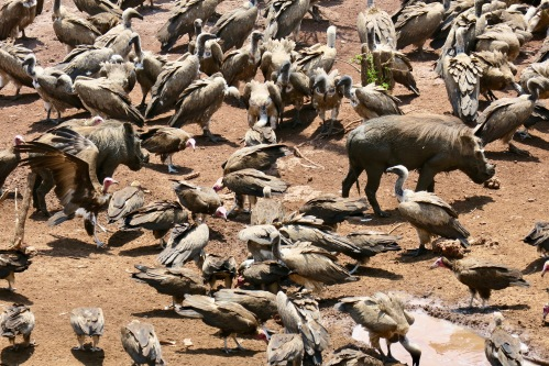 vultures-eating-lunch-at-the-victoria-falls-safari-lodge-zimbabwe