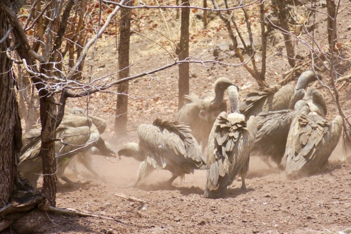 vultures-fighting-over-food-zimbabwe-africa