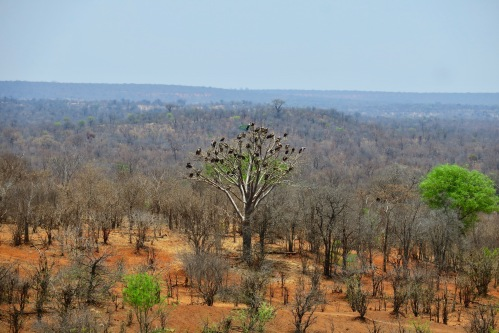 vultures-gather-in-dead-tree-zimbabwe-afrcian-safari-lodge
