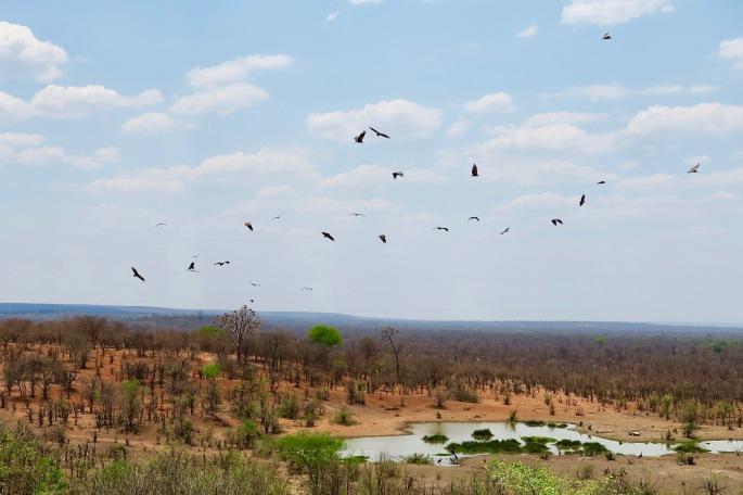 vultures-gathering-overhead-in-zimbabwe