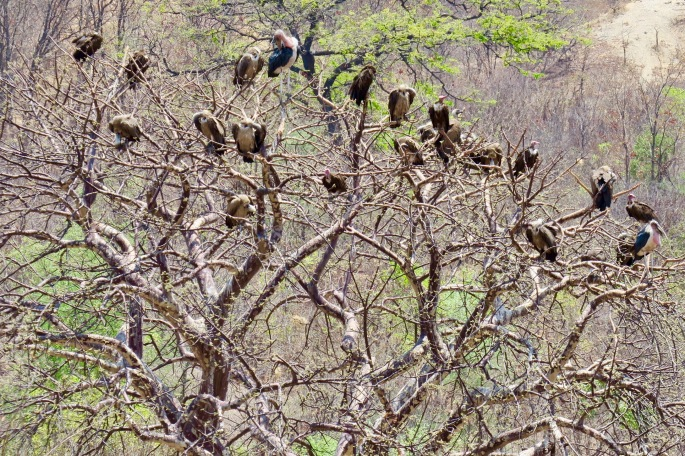vultures-in-african-christmas-tree