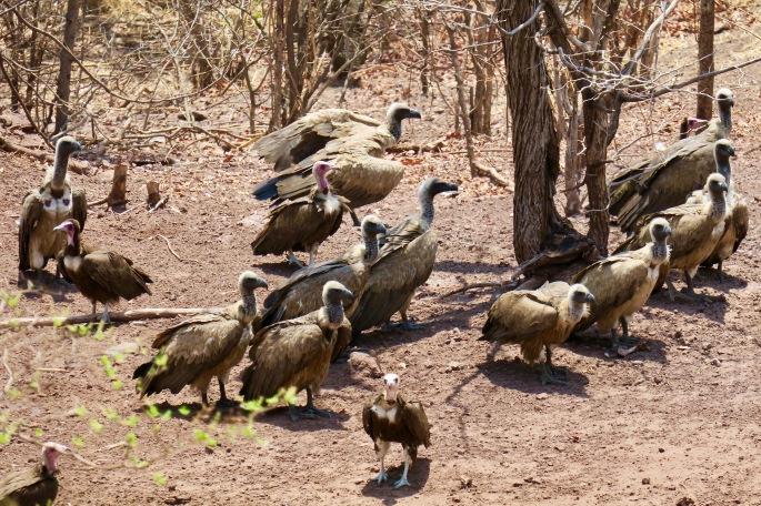 vultures-in-zimbabwe-11-8-16