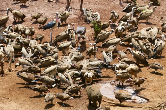 vultures-with-marabou-storks-and-wart-hogs-eating