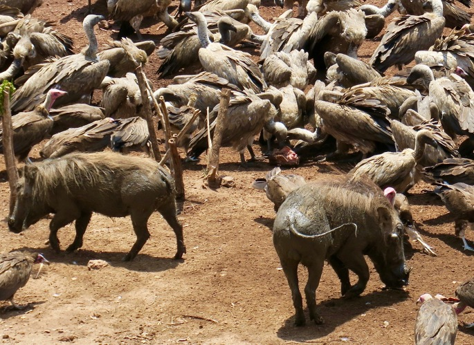 wart-hogs-join-the-vulture-culture-party