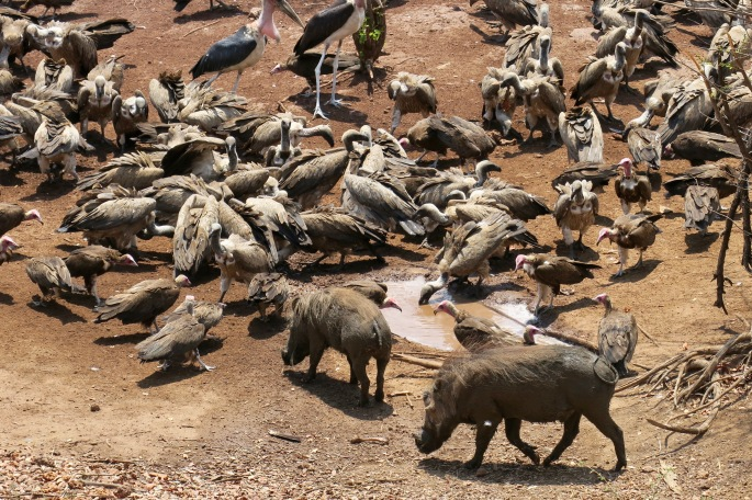 warthogs-feasting-with-vultures-africa