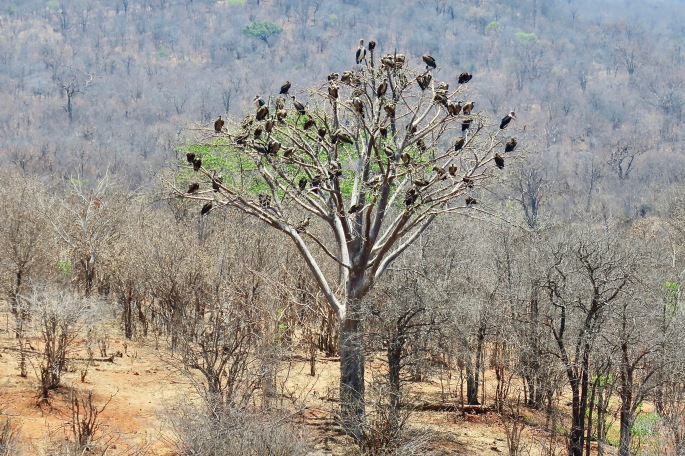 zimbabwe-african-christmas-tree-vultures
