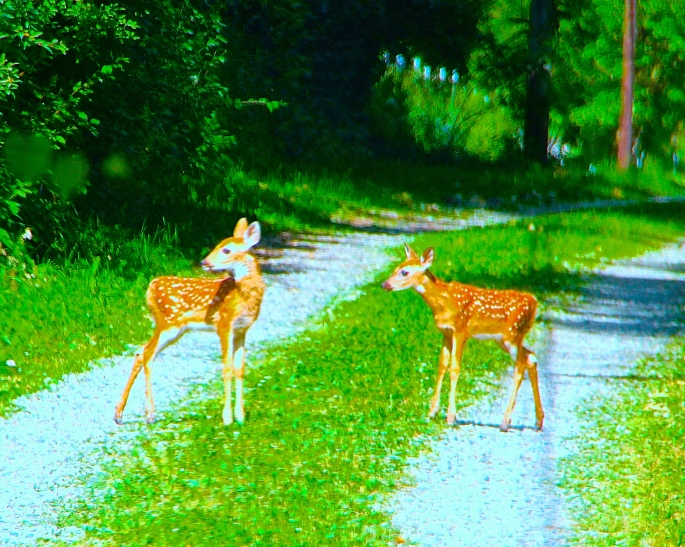 113-spring-twin-fawns
