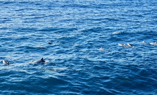 a-pod-of-dolphins-in-hawaii