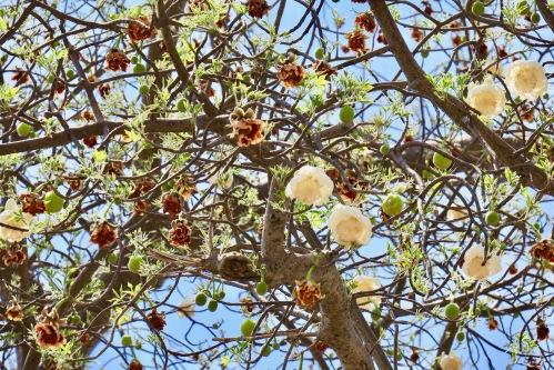 baobab-tree-the-big-tree-zimbabwe