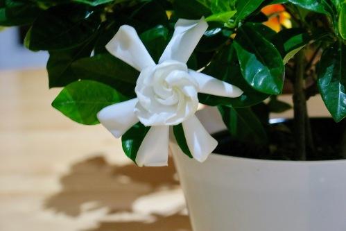 gardenia-flower-unfurling