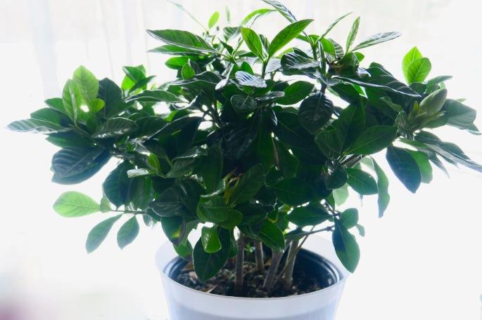gardenia-plant