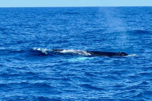 humpback-whale-by-blue-dolphin-charter-catamaran-kauai