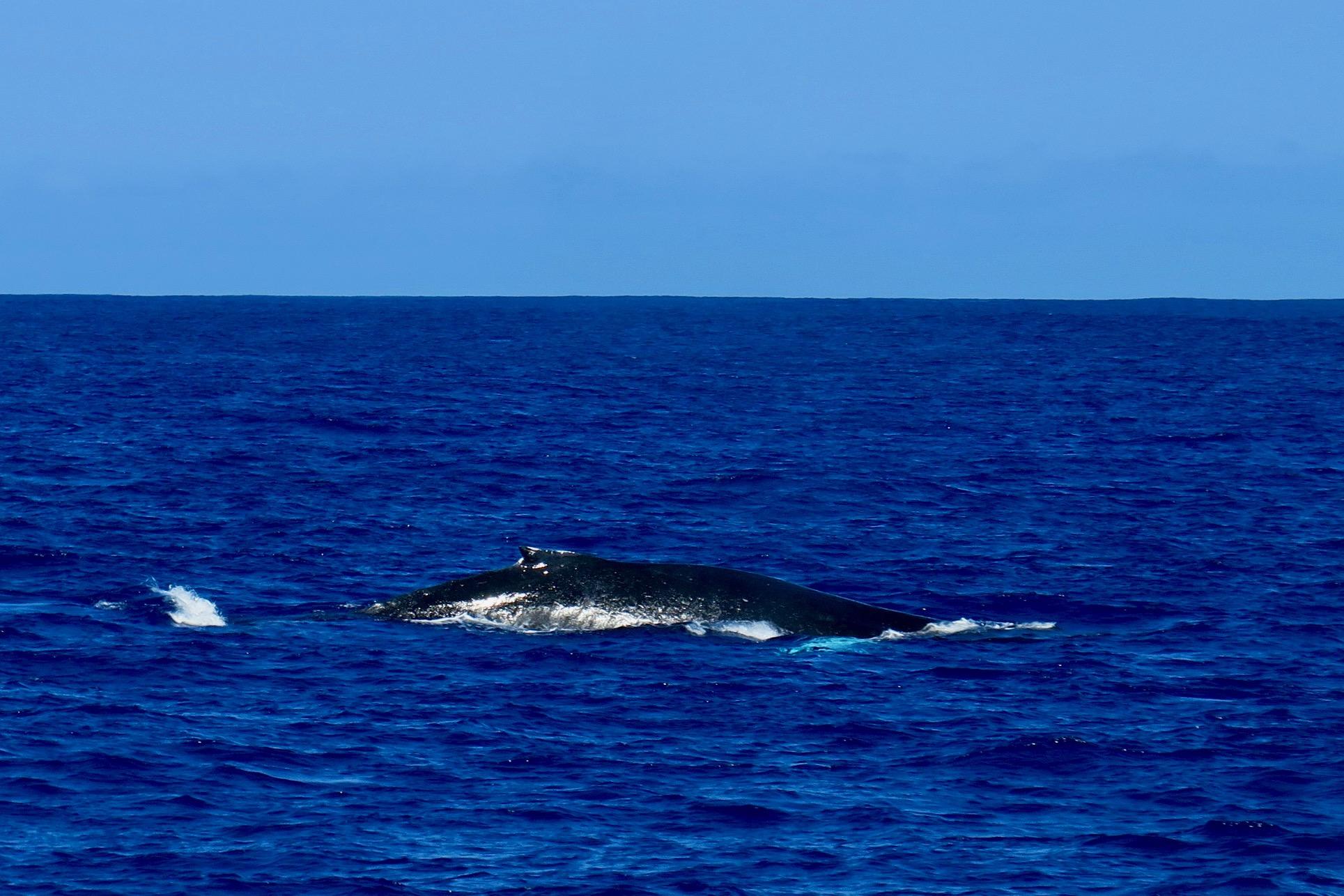 humpback-whale-starts-to-dive-napali-coast-kauai