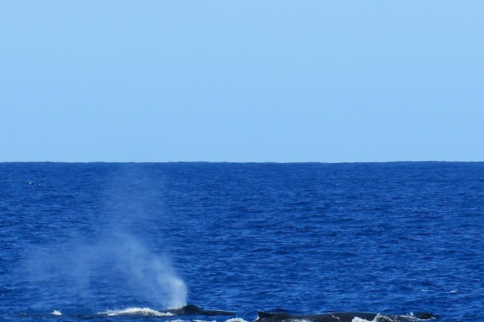 mother-and-baby-humpback-whales-kauai