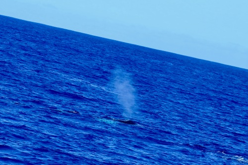 mother-and-calf-whales-emerging-next-to-our-blue-dolphin-ii-charter