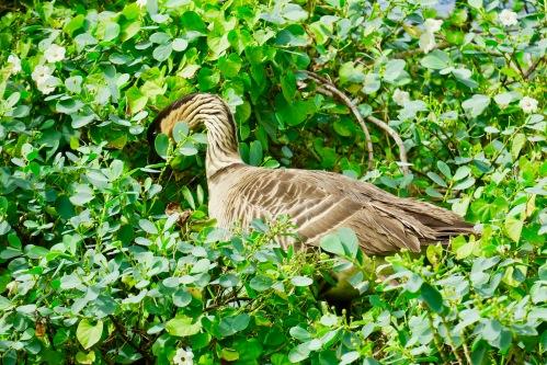 nene-in-a-bush-hawaiis-state-bird-kauai