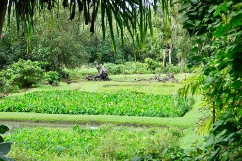 taro-field-near-hanalei-kauai
