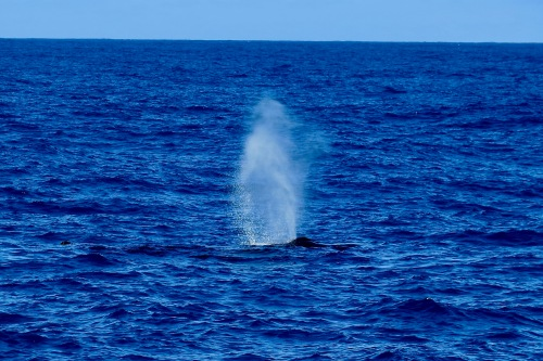 whale-blowing-blue-dolphin-charters