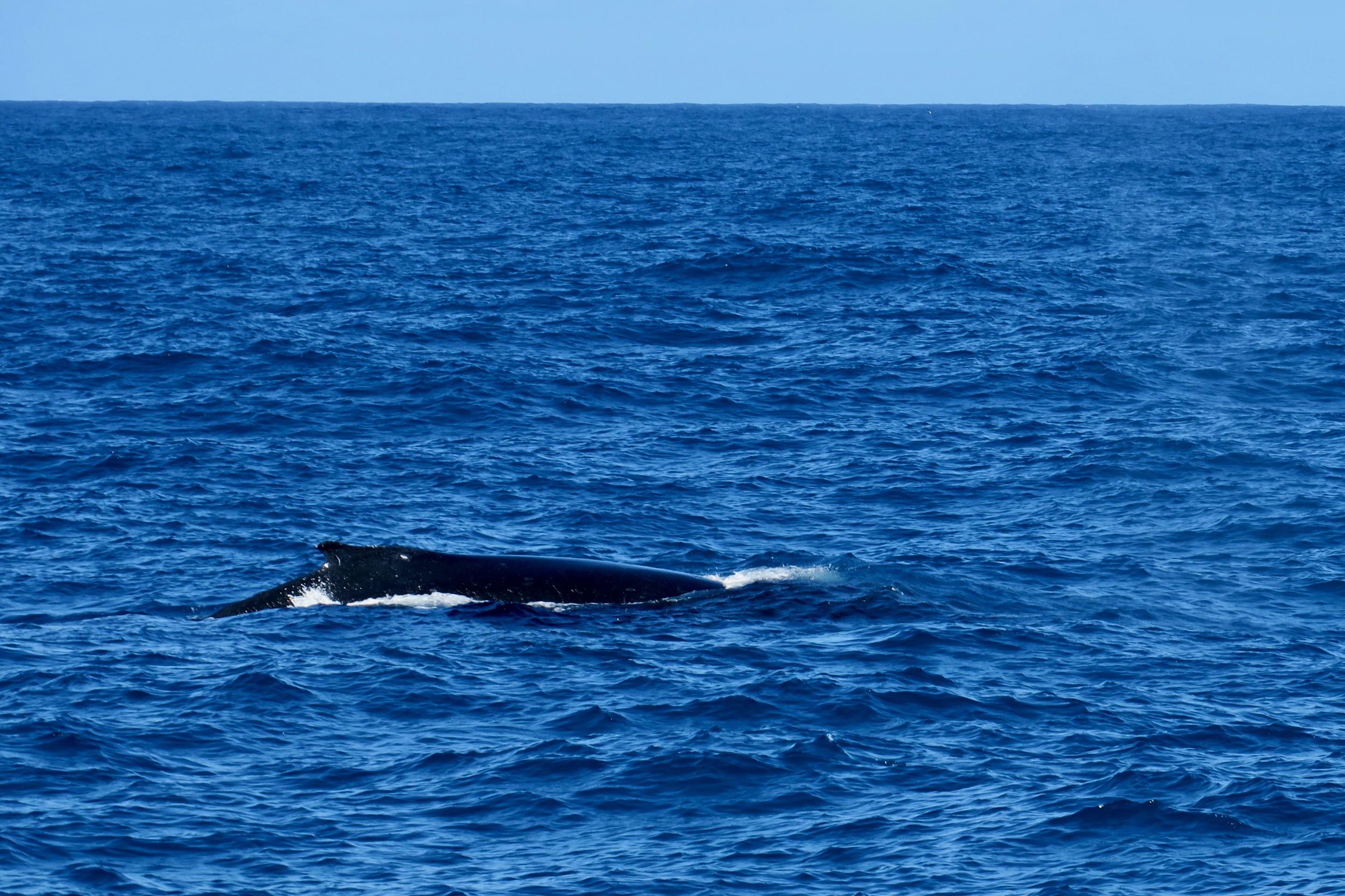 whale-in-pacific-ocean-kauais-napali-coast