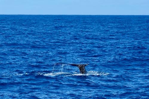 whale-tail-blue-dolphin-charter-catamaran-napali-coastjpg