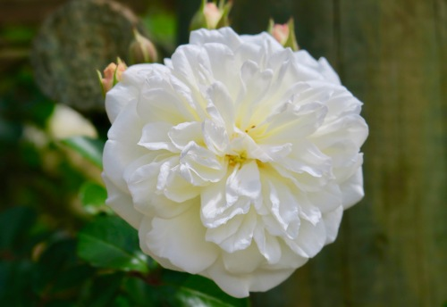 white-pure-rose-africa-copy-2