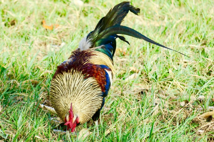 amazingly-colorful-plumage-on-rooster-in-kauai