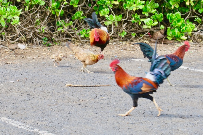 chick-hen-roosters-together