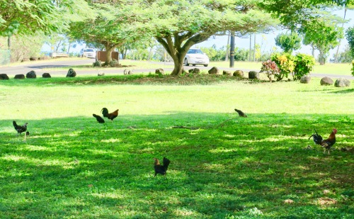 chickens-everywhere-in-kauai