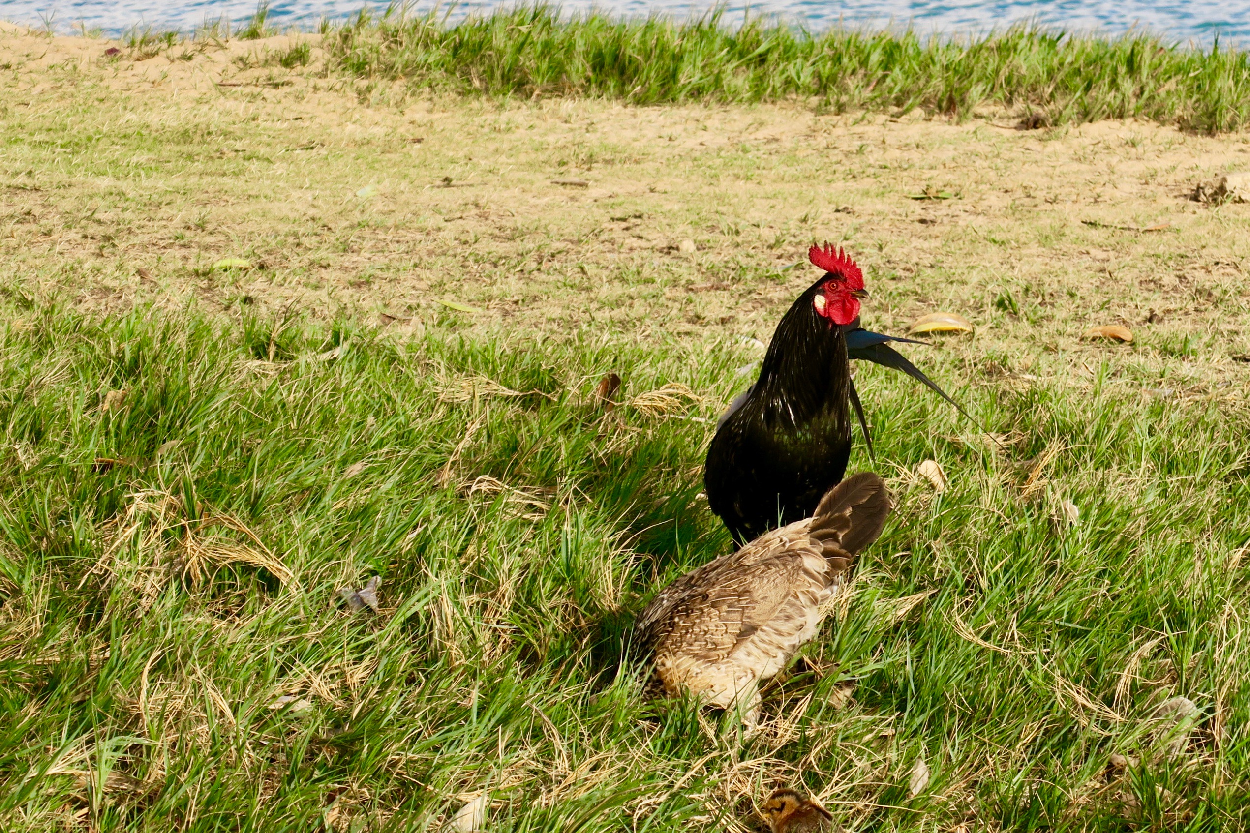 cock-and-hen-feeding-in-grass-by-ocean-kauai