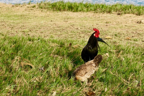 cock-and-hen-feeding-in-grass-by-ocean-kauai