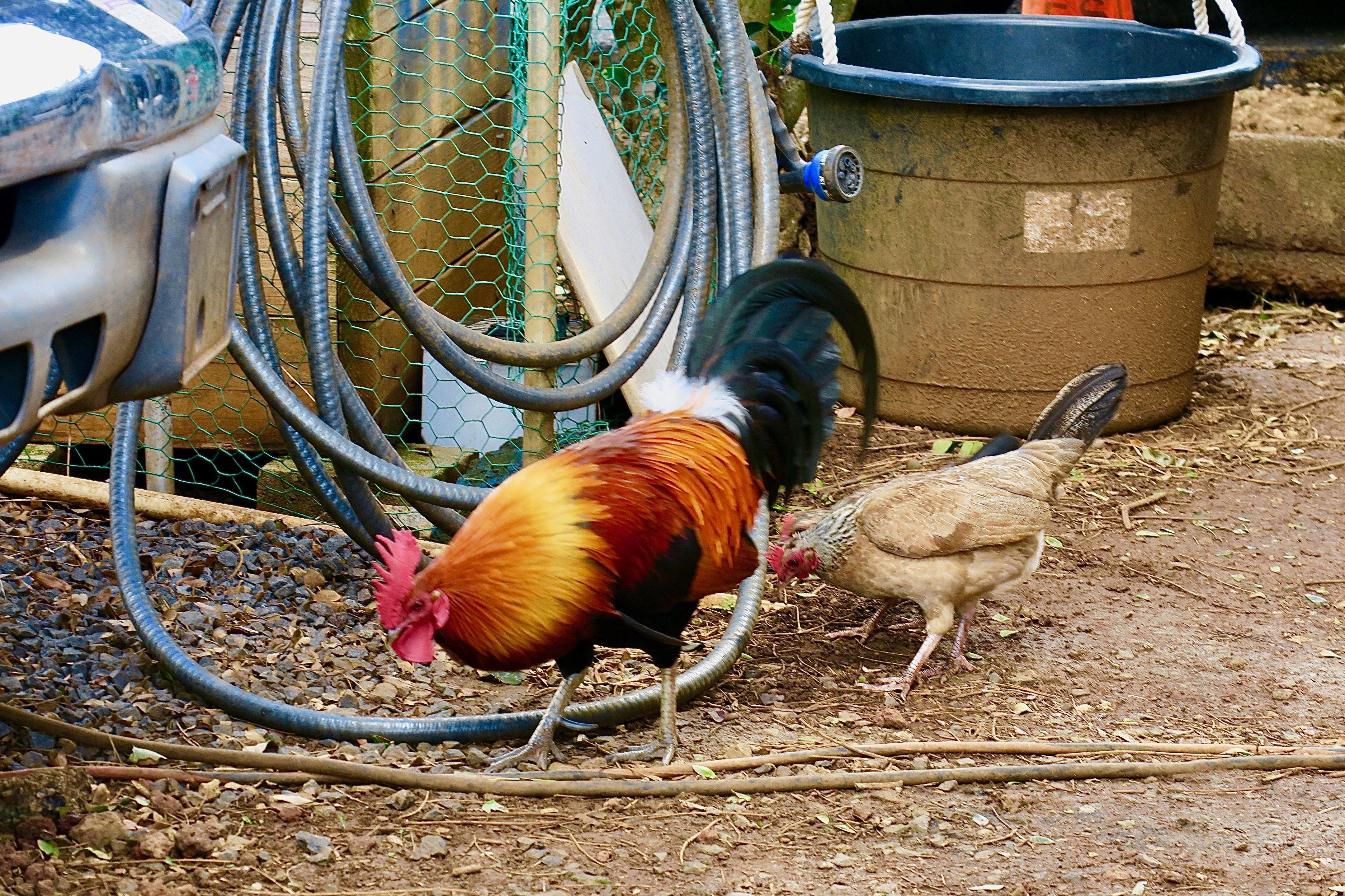 cock-and-hen-looking-for-water-kaloa-kauai
