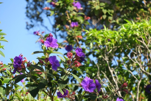 glory-bush-tibouchina-urvilleana-kauai-by-kalalau-lookout
