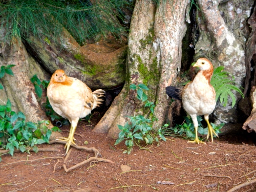 hens-in-hawaii