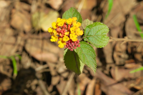 lantana-blooming-in-kauai
