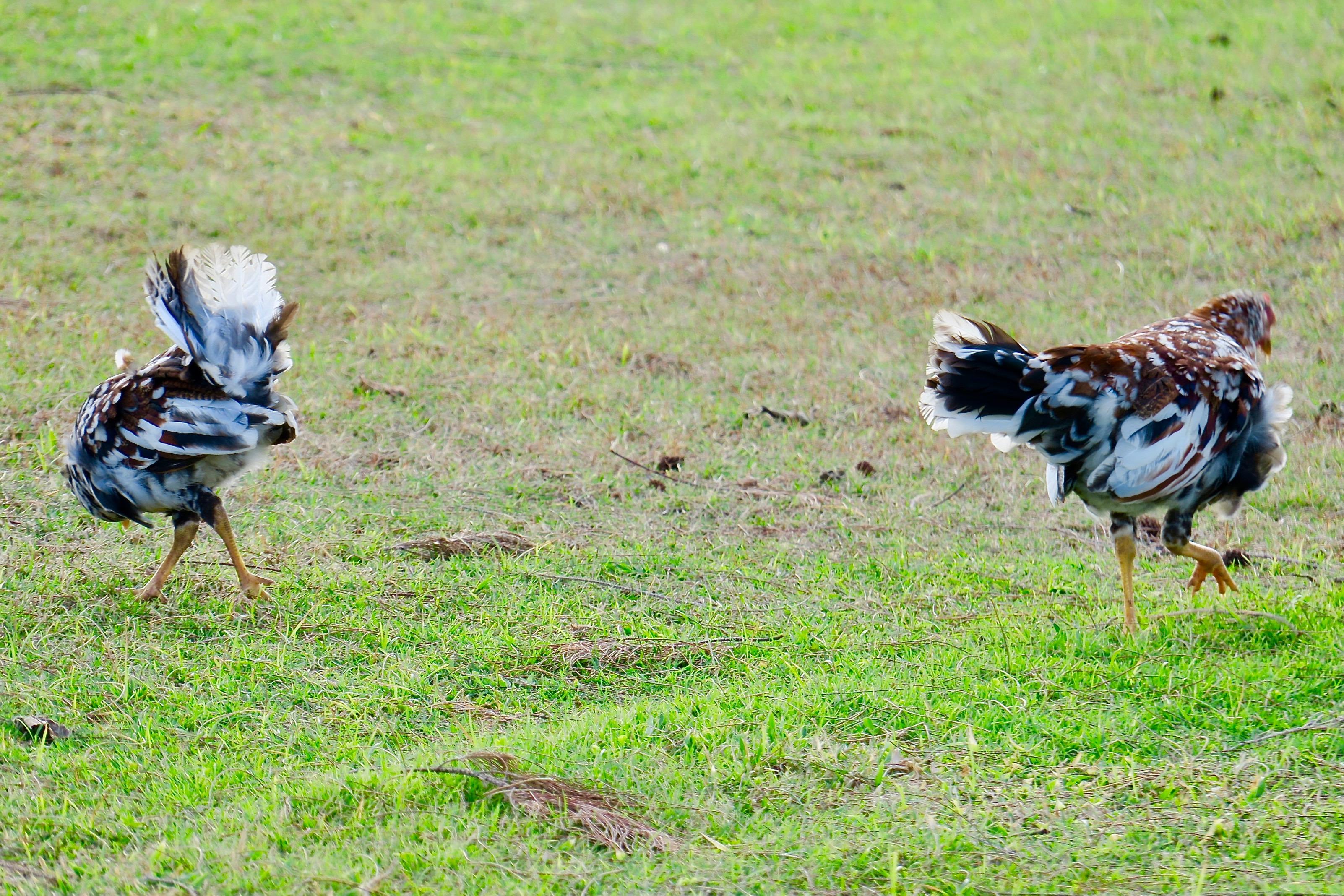 lovely-hens-mottled-brown-and-white-kauai