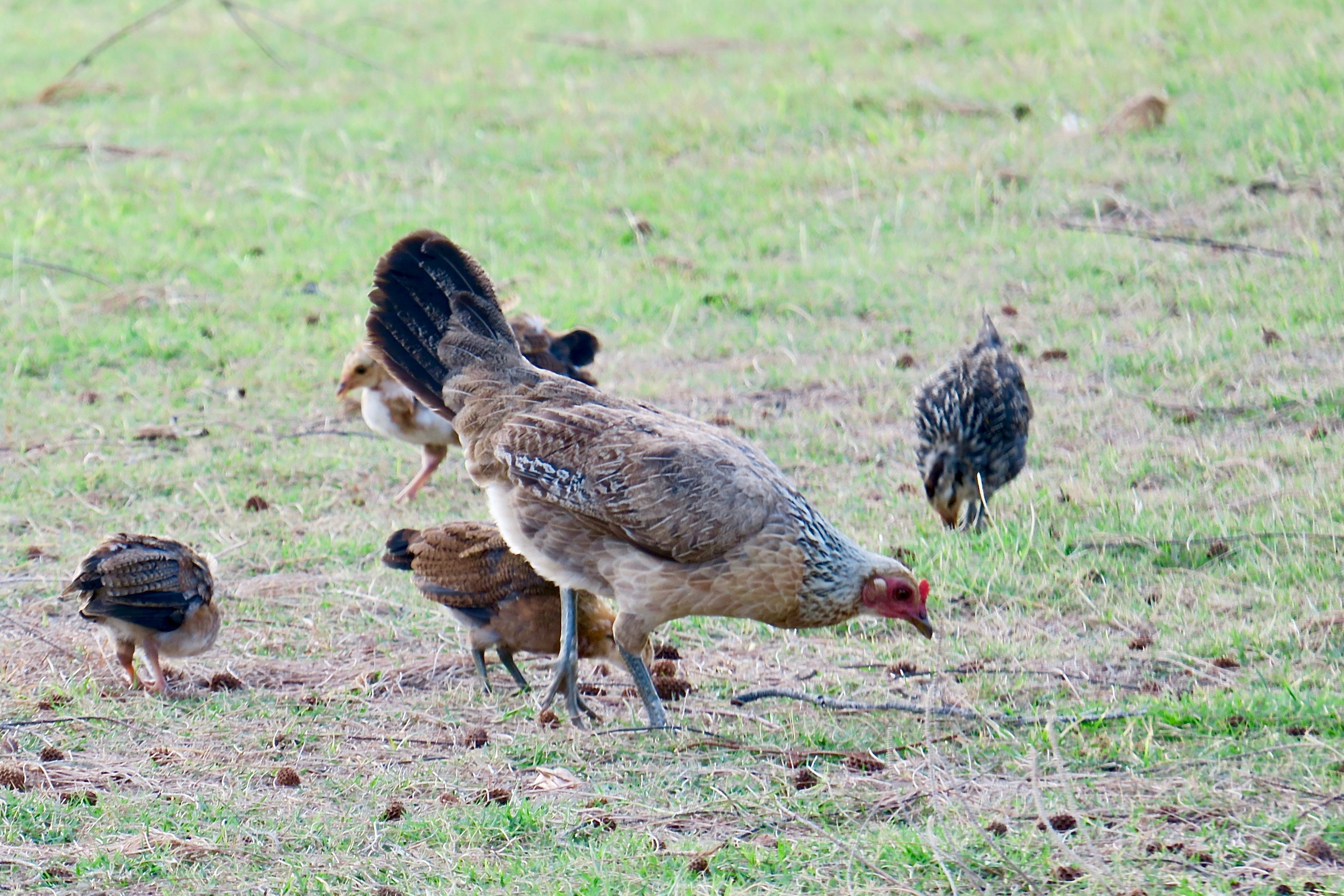 mother-and-chicks-feeding-in-grass-kauai