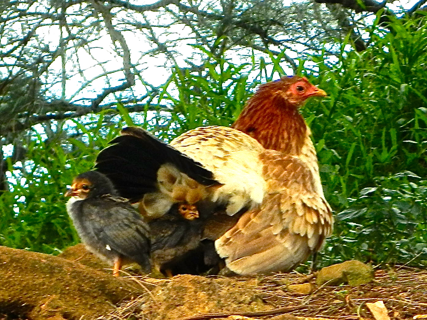 mother-hen-with-chickens-under-her-wings