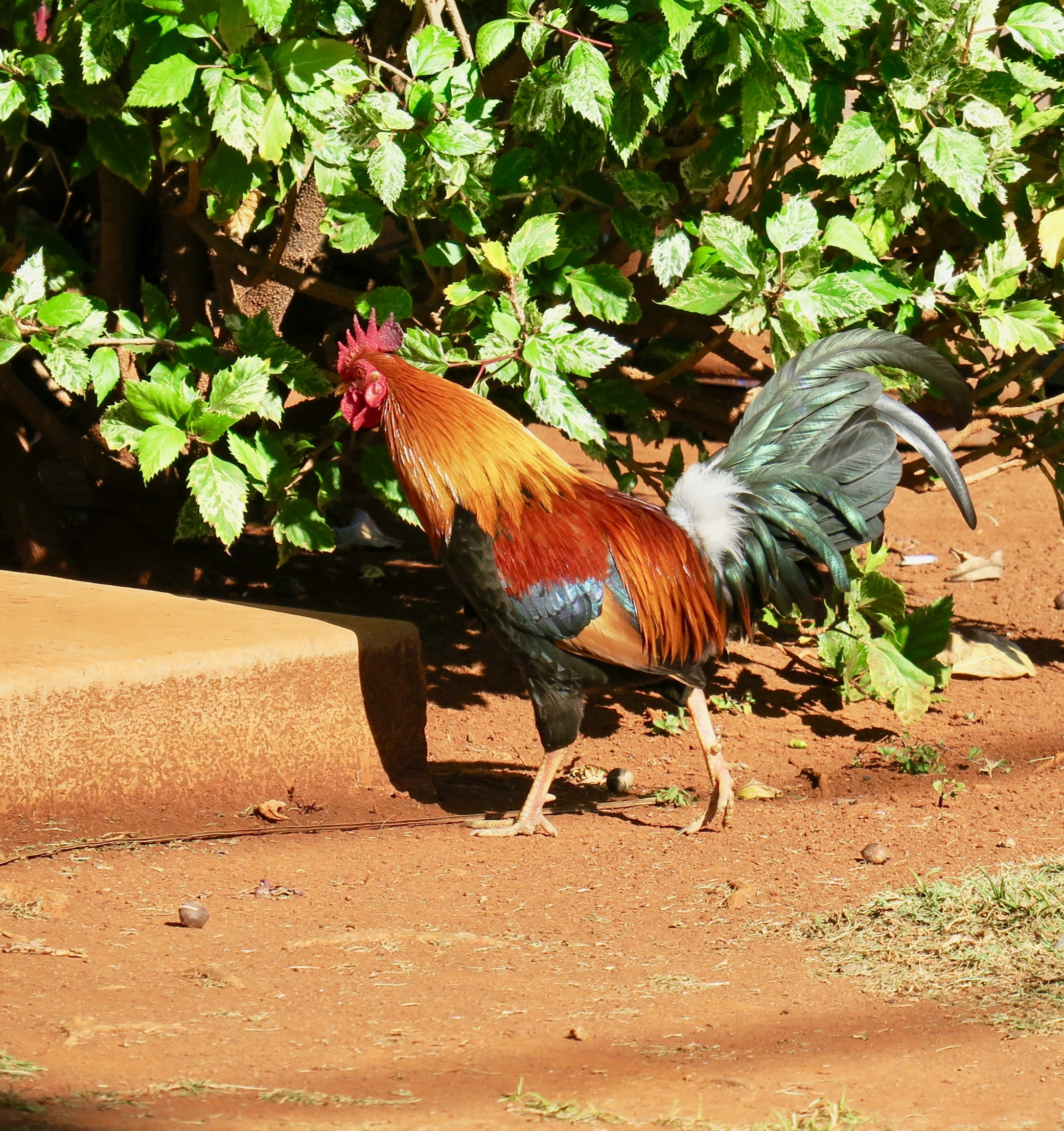 rooster-by-captain-cook-memorial-kauai