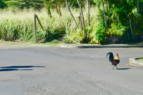 rooster-crossing-road-kauai