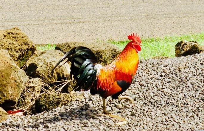 rooster-in-kaloa-kauai