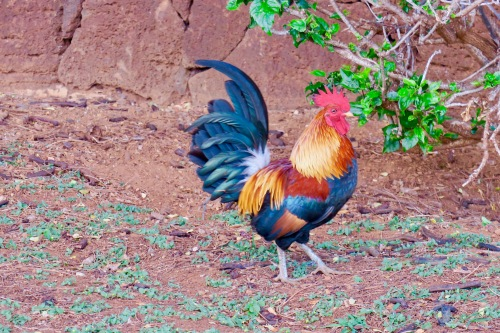 rooster-in-kauai-one-of-hundreds-copy