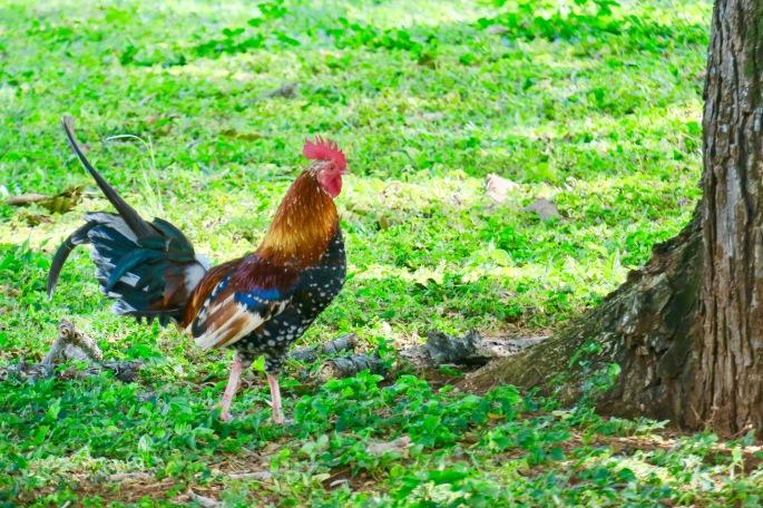 rooster-near-wailua-falls-kauai