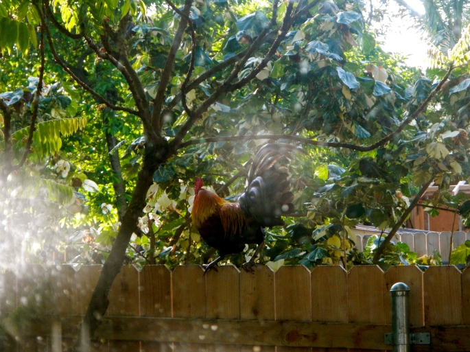 rooster-on-a-fence