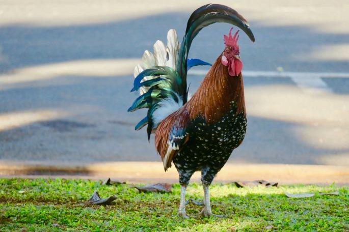 rooster-posing-at-kalalau-lookout-hawaii