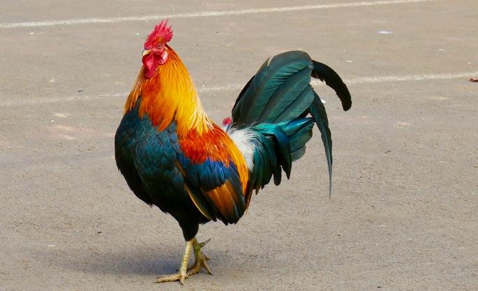 rooster-waimea-canyon-kauai
