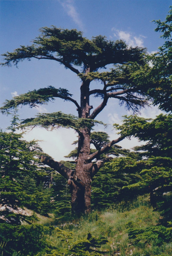 What is the significance of cedar in the Bible? – Summer Setting